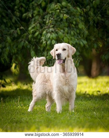 Beautiful Purebred Golden Retriever Dog Posing In Summer Park. A Friend Companion Dog Standing On A