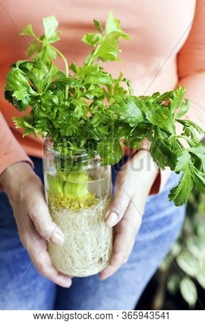 Growing Celery. Woman Holding In Her Hands The Glass Bottle With The Celery Plant Inside. Home Garde