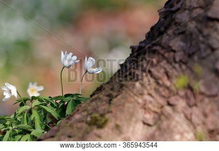 White Spring Flower Wood Anemone, Anemone Nemorosa Or Windflower Growing Next To Tree.