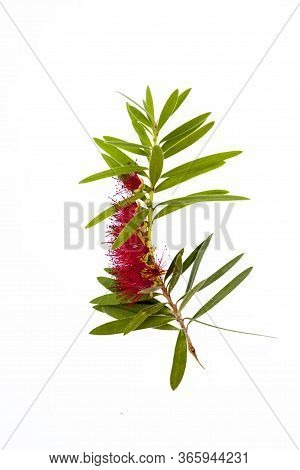 Close-up View Of A Calistemon Flower - Bottlebrush Plant: Red Flower With Numerous Anthers And Some