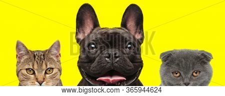 cute 3 animals team consisting of a metis cat, French Bulldog dog and Scottish Fold cat are standing next to each other and sticking out tongue on yellow background