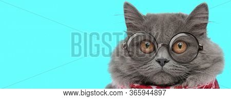 young funny British Longhair cat wearing eyeglasses with red bandana, looking ahead with big eyes on blue background