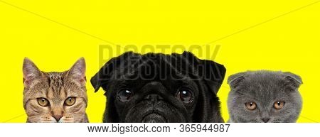couple of 3 animals consisting of a metis cat, Pug dog and Scottish Fold cat are standing side by side and looking at camera on yellow background