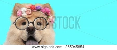 adorable young Chow Chow dog wearing a headband of flowers, eyeglasses and panting on blue background