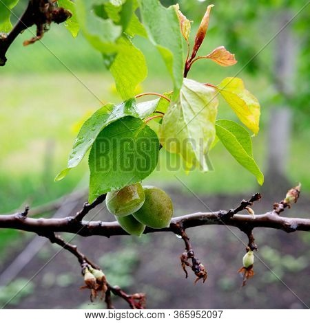 Small Green Apricots That Grow On A Tree. Ripening Fruits In Spring. Apricot Tree Branch With Aprico