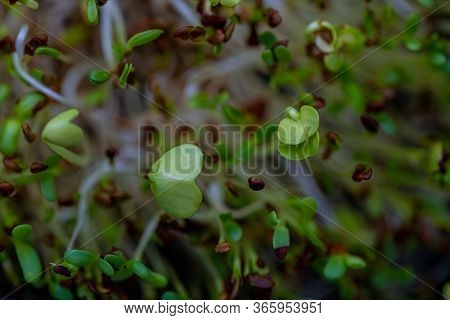 Macro. Fresh Sprouts Of Germinated Seeds. Healthy Vegetarian Food. Seeds Of Red Cabbage, Radish, Let