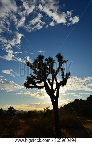 Joshua Tree Standing Alone With White Clouds Above