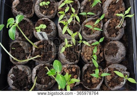 Selective Focus Image Of Vegetable Seedlings Sprouting In Soil Preparing To Be Planted In A Home Gar