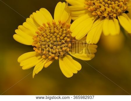Bright Yellow Close Up Of Brittlebush (encelia Farinosa) Sunflower Wildflower