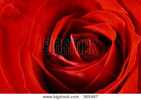 Deep Red Rose