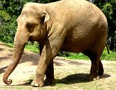 elephant photographed at the taronga zoo in sydney, australia poster