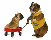 dog pulling a wagon - english bulldog pulling a wagon with a french bulldog in it on white background poster