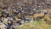 A herd of Zebras and Wildebeest drink from a river druing the great migration. Serengeti National Park, Tanzania. poster