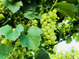 Closeup Shot Of A Green Fruit Grapes In A Bright Sunny Day In The Summer