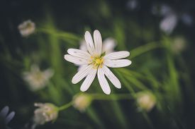 White Wildflower In A Green Forest In The Spring With A Matte And Dark Tone