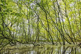 Green Beech Branches In A Forest Swamp In The Spring In Vibrant Colors