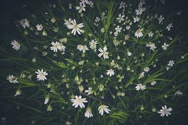 White Anemone Flowers Seen From Above With Green Leaves In The Spring