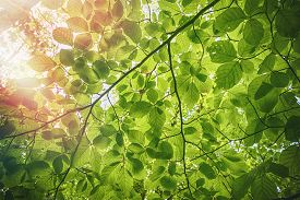 Fresh Green Beech Leaves In The Springtime With Water Droplets