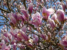 Many Pink Flowers Of Blooming Magnolia Tree As A Floral Background