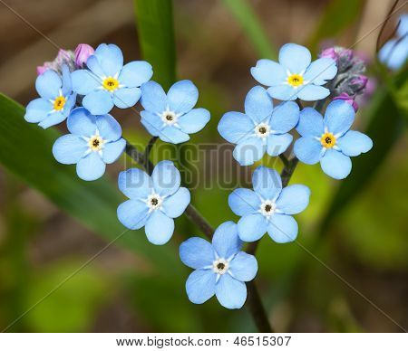 Flowers Forget-me-in The Form Of Heart.