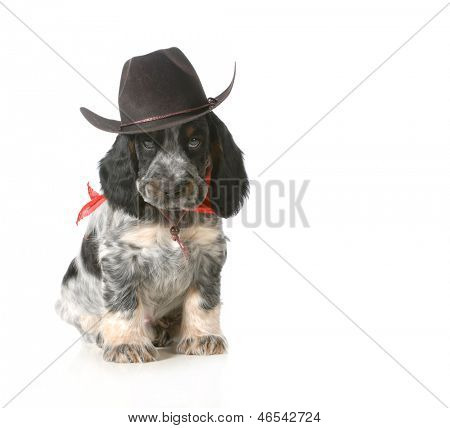 country dog - english cocker spaniel puppy wearing western hat isolated on white background - 7 weeks old poster