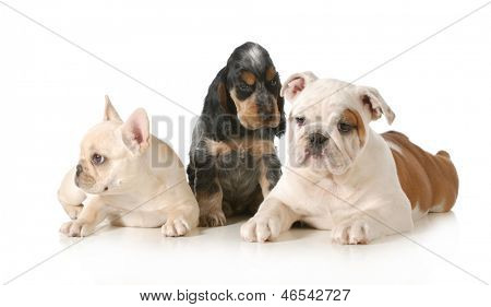 three puppies - french bulldog, english cocker spaniel and english bulldog - all around 8 weeks old isolated on white background