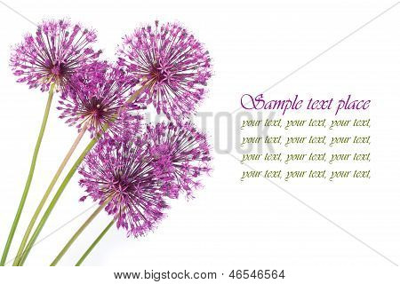 holiday card with purple flowers alium isolated