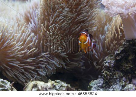 Beautiful Little Clownfish and Sea Anemone.