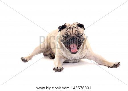 Yawning Dog Over White