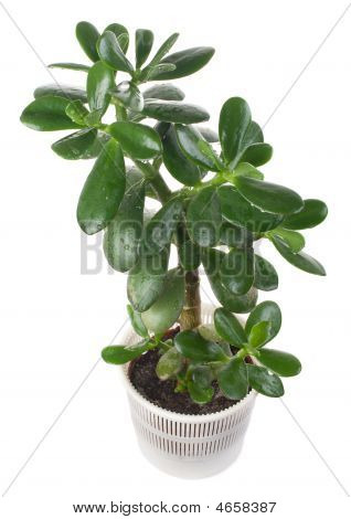 Potted Crassula Or Dollar Tree