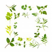Herb leaf selection forming a border over white background. poster
