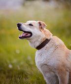Beige dog. Dog on a grass. Not purebred dog. Doggie on walk. The beige large not purebred mongrel. poster