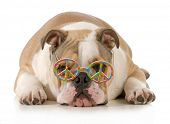 happy dog - english bulldog wearing peace sign glasses laying down isolated on white background poster