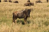 The wildebeest also known as gnu - African antelope. poster