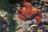 Beautiful Orange Starfish in Shallow Tide Pool. poster