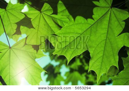 green maple leaf with backlight of sun