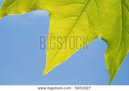 edges of maple leaf