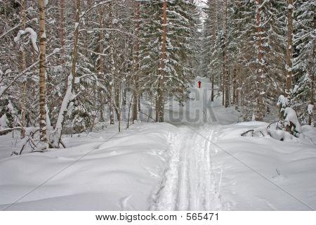 Winter Forest. Skier