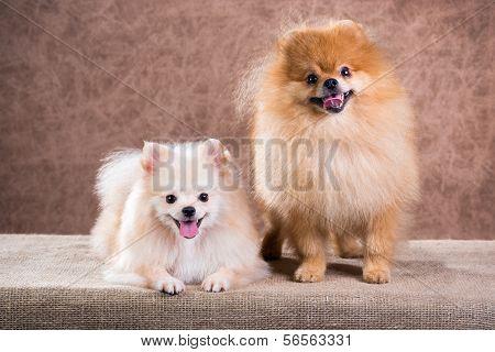 Portrait Two Pomeranian Dog