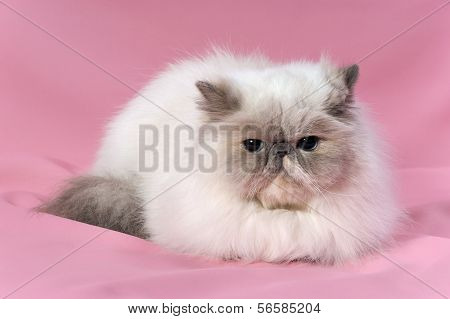 Persian Blue Tortie Point Cat