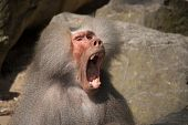 Baboon making a lot of noise with his mouth wide open poster