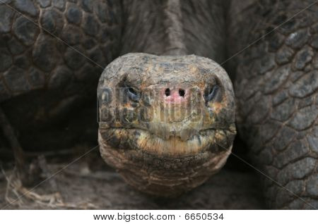 close-up portrait of a endangered galapagos tortoise poster