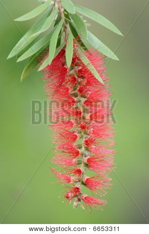 Red bottle-brush (Callistemon) flower