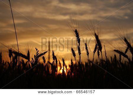 Sunrise in the wheatfields