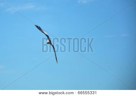 Seagull doing nosedive