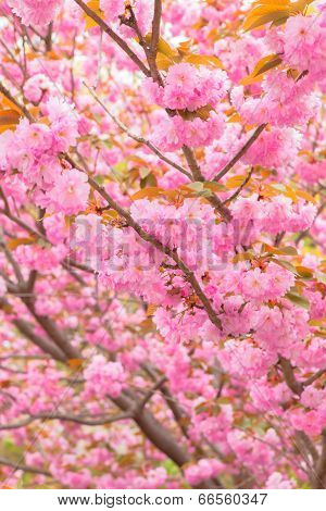 Blooming double cherry blossom branches