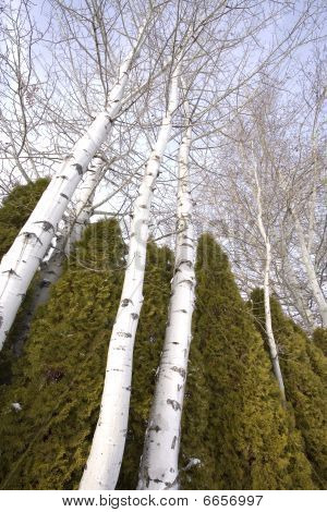 Looking up at aspen trees.