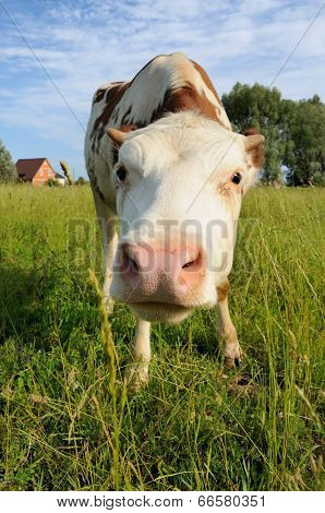 Cow On A Summer Pasture And House Behind