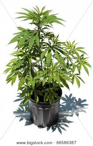 Weed Grow Chat Room