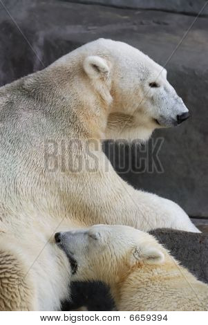 Polar bear nursing cub